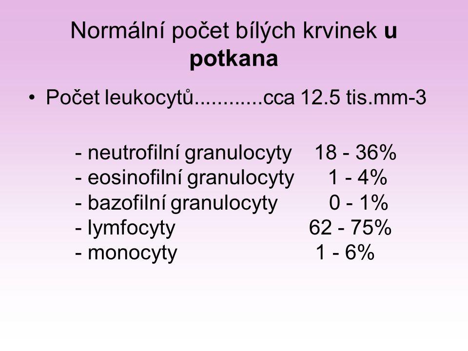 Normální počet bílých krvinek u potkana