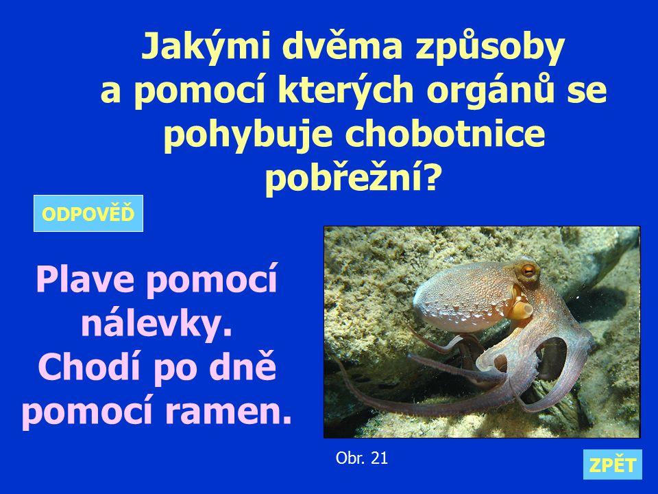 a pomocí kterých orgánů se pohybuje chobotnice pobřežní