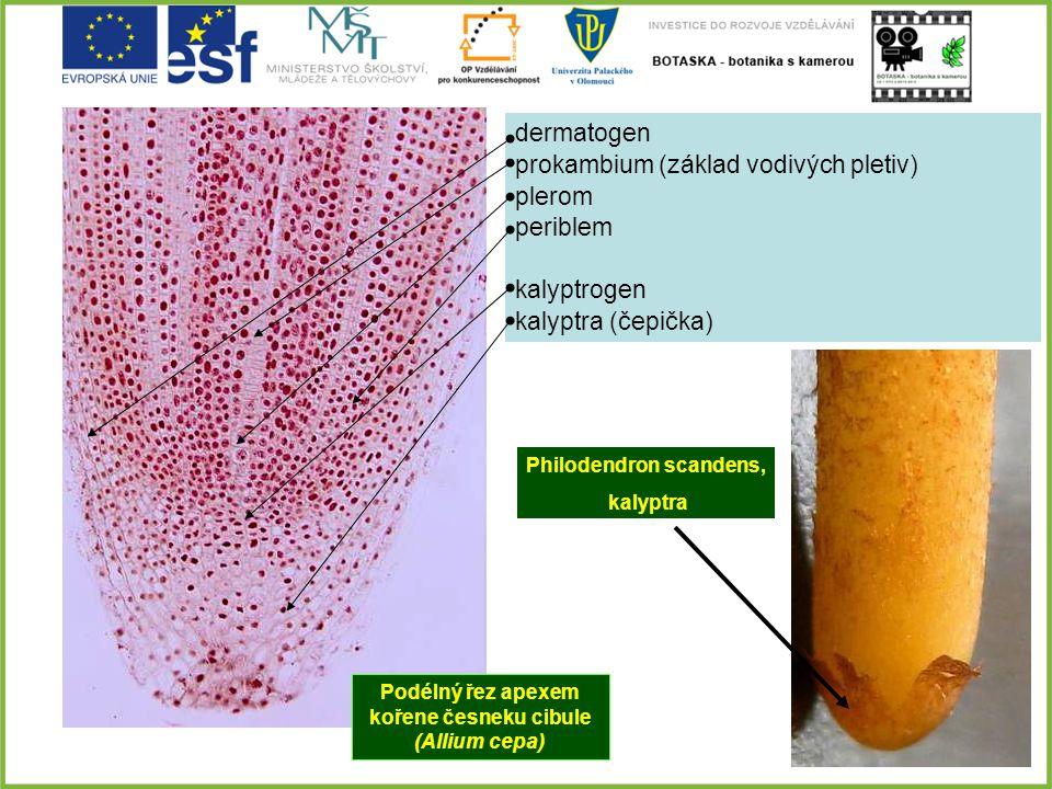 prokambium (základ vodivých pletiv) plerom periblem kalyptrogen