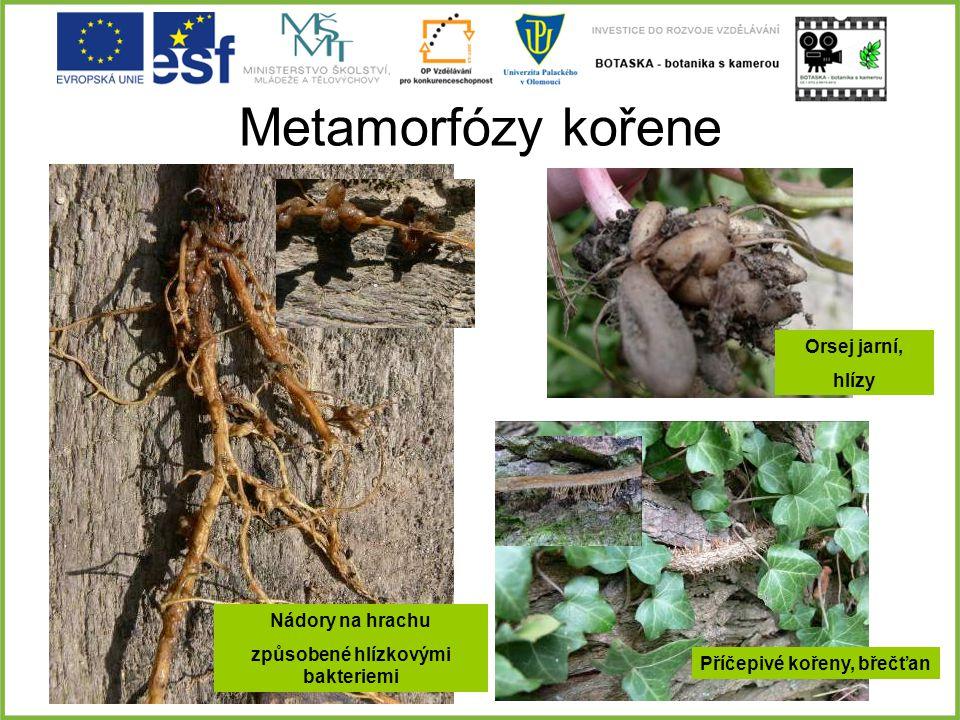 způsobené hlízkovými bakteriemi Příčepivé kořeny, břečťan