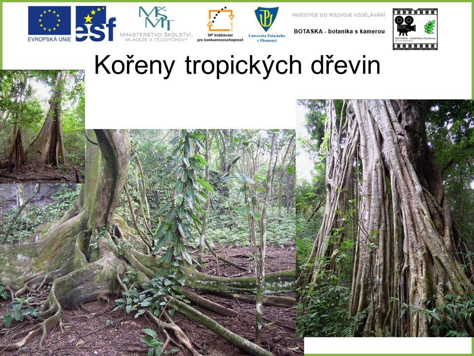Kořeny tropických dřevin