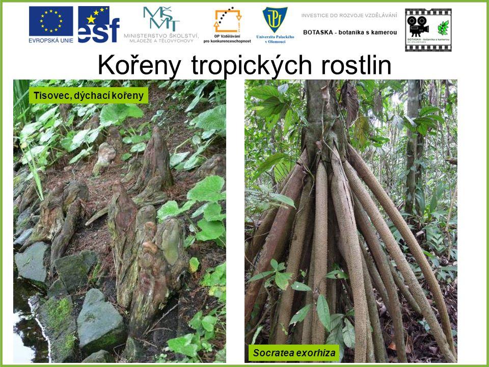 Kořeny tropických rostlin