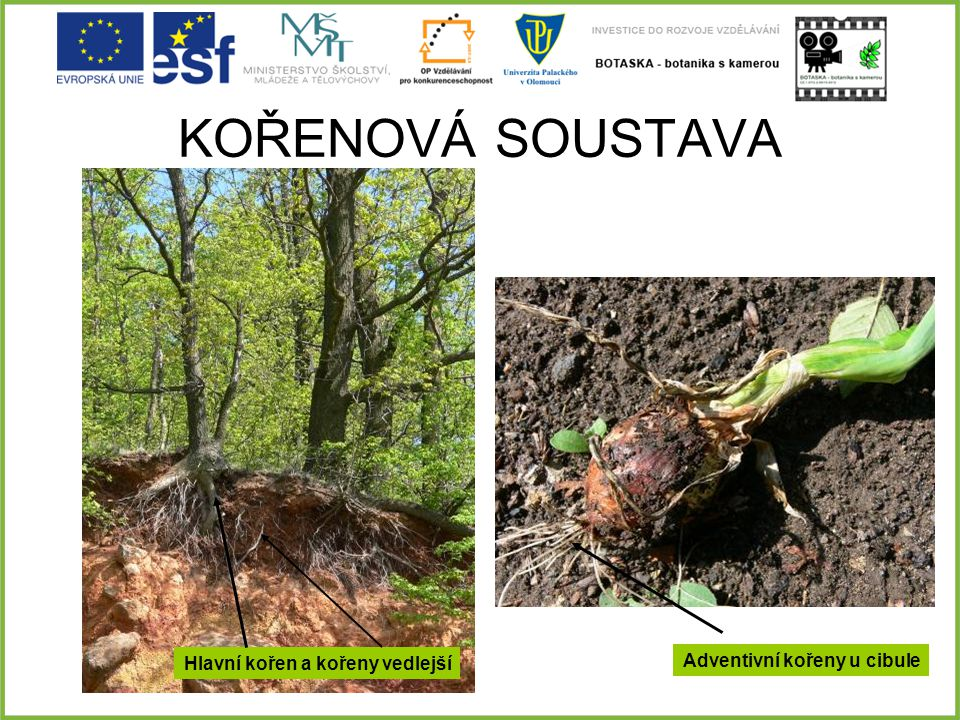 Hlavní kořen a kořeny vedlejší Adventivní kořeny u cibule