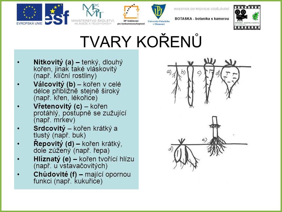 TVARY KOŘENŮ Nitkovitý (a) – tenký, dlouhý kořen, jinak také vláskovitý (např. klíční rostliny)