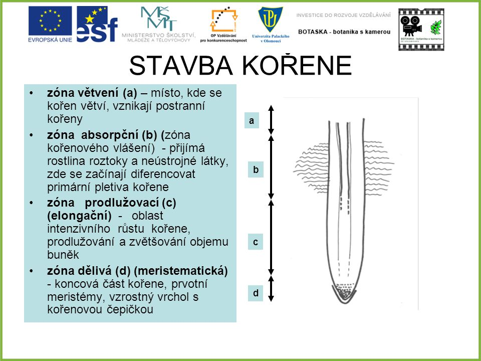STAVBA KOŘENE zóna větvení (a) – místo, kde se kořen větví, vznikají postranní kořeny.