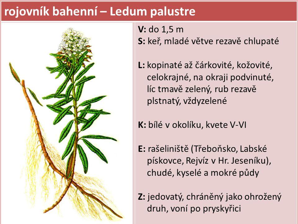 rojovník bahenní – Ledum palustre