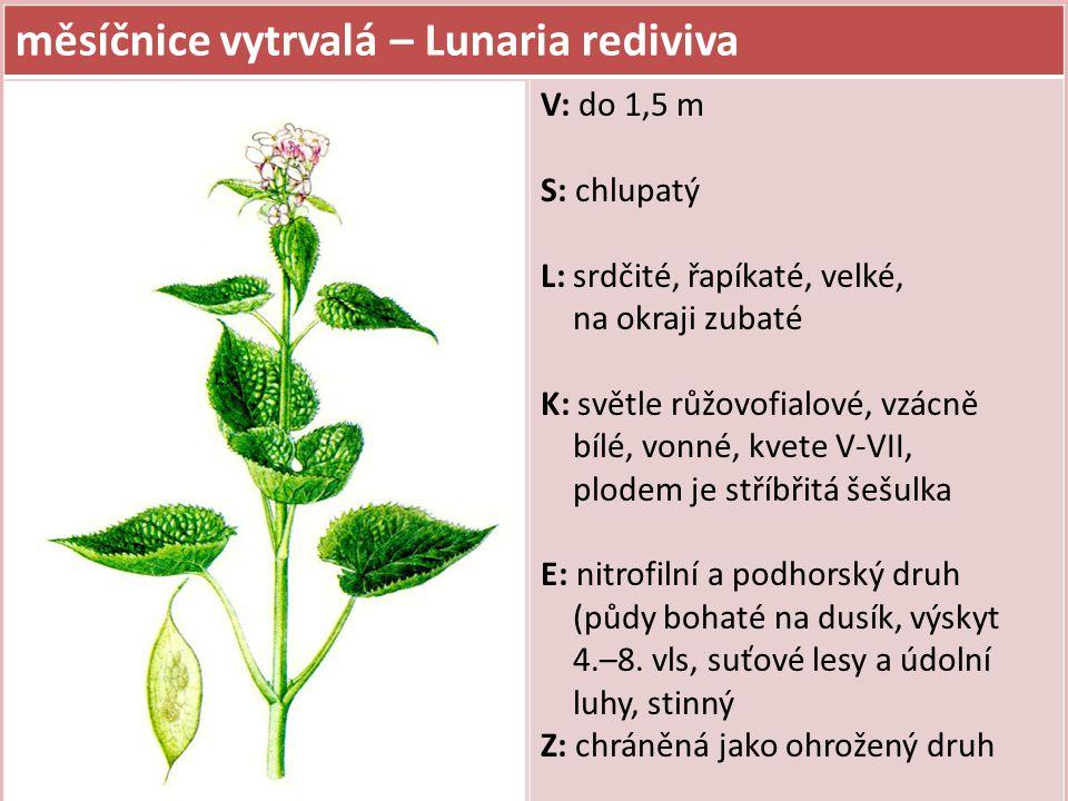 měsíčnice vytrvalá – Lunaria rediviva