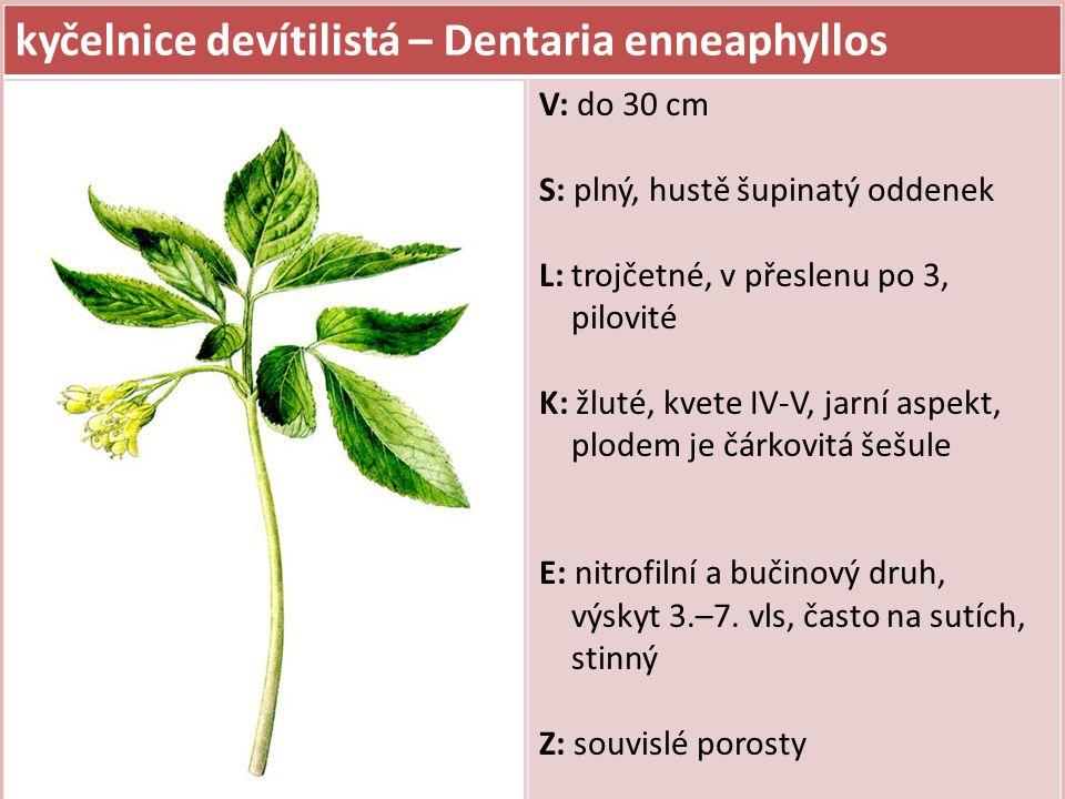 kyčelnice devítilistá – Dentaria enneaphyllos