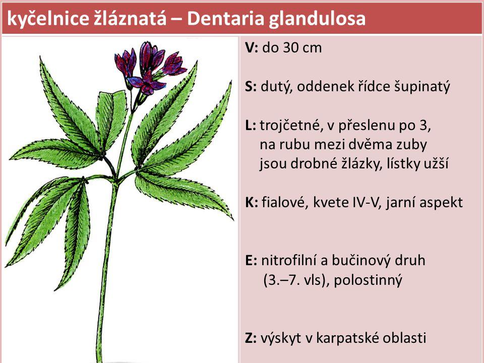 kyčelnice žláznatá – Dentaria glandulosa