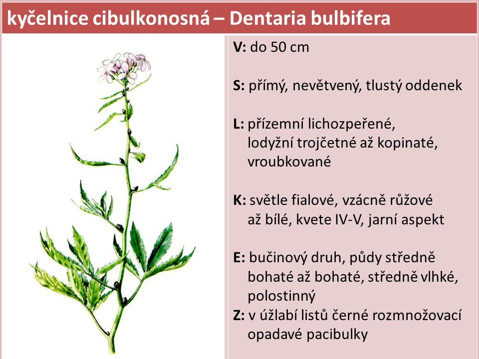 kyčelnice cibulkonosná – Dentaria bulbifera