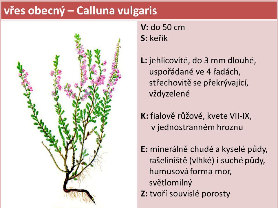 vřes obecný – Calluna vulgaris