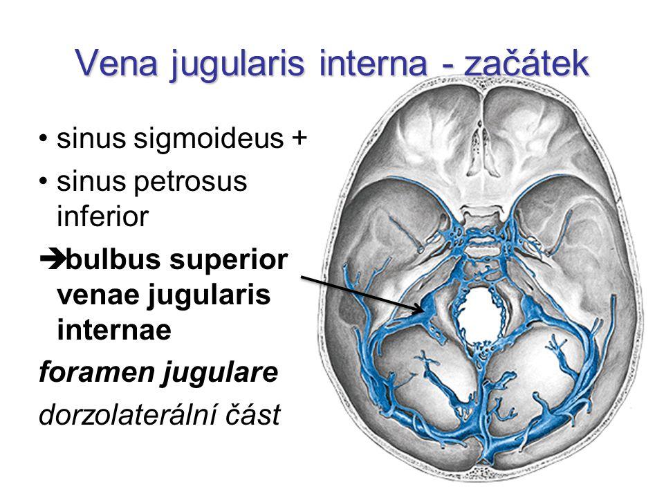 Vena jugularis interna - začátek