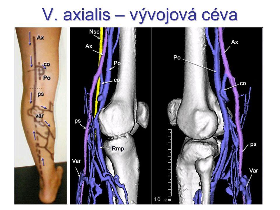 V. axialis – vývojová céva