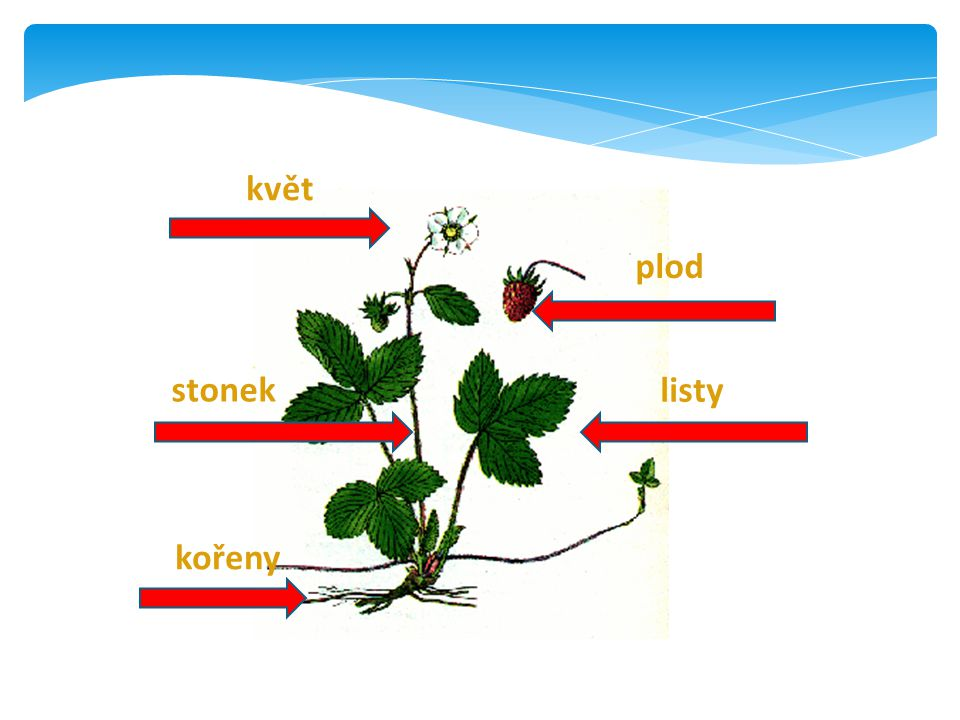 květ plod stonek listy kořeny