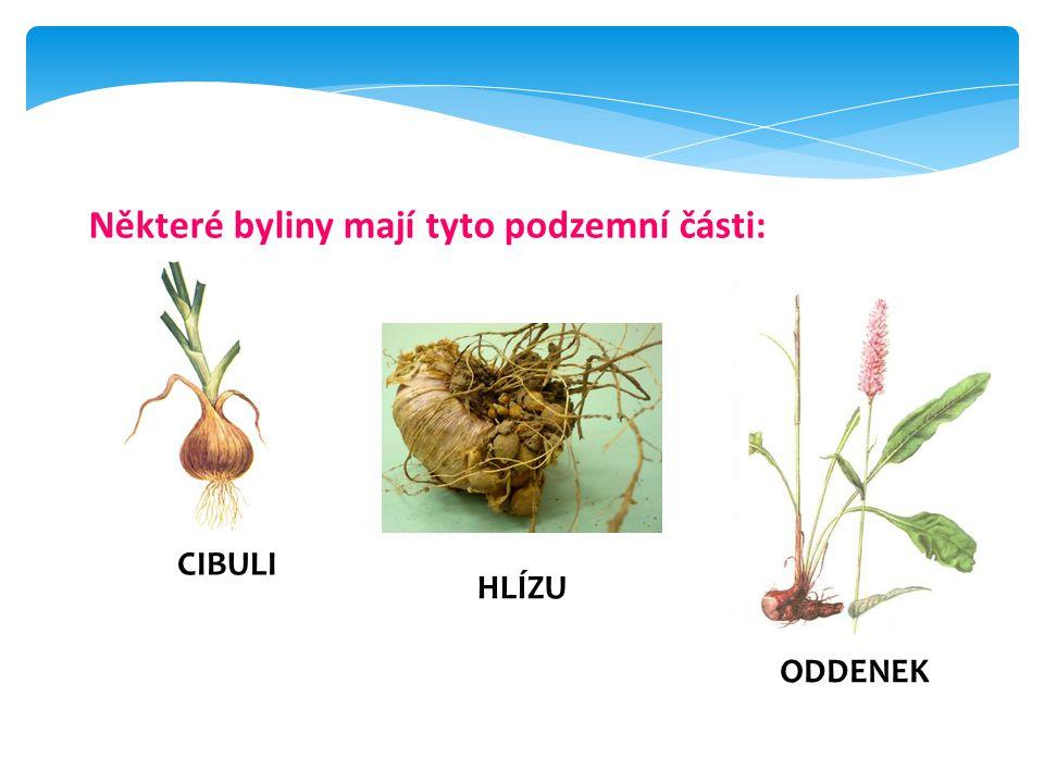 Některé byliny mají tyto podzemní části: