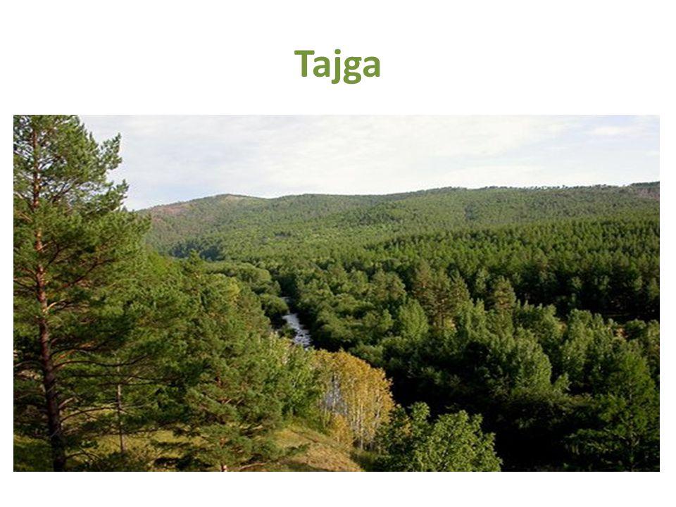 Tajga Jižně od tunder Pás jehličnatých lesů