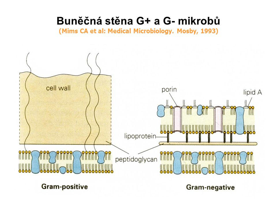 Buněčná stěna G+ a G- mikrobů (Mims CA et al: Medical Microbiology