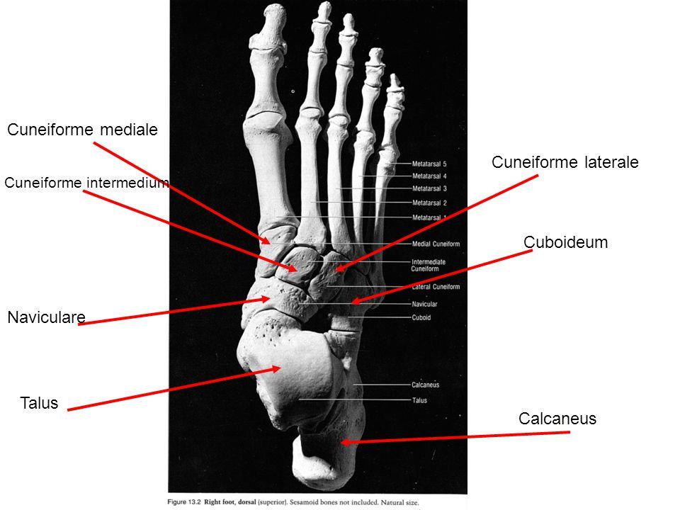 Cuneiforme mediale Cuneiforme laterale Cuboideum Naviculare Talus