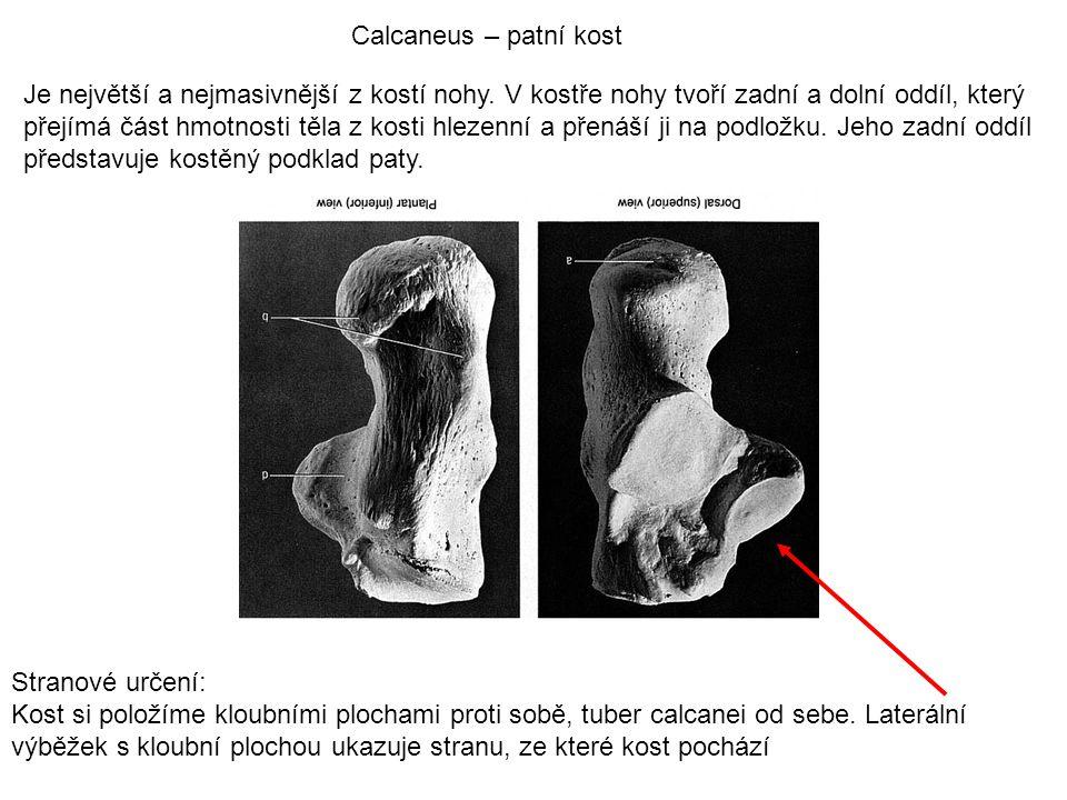 Calcaneus – patní kost