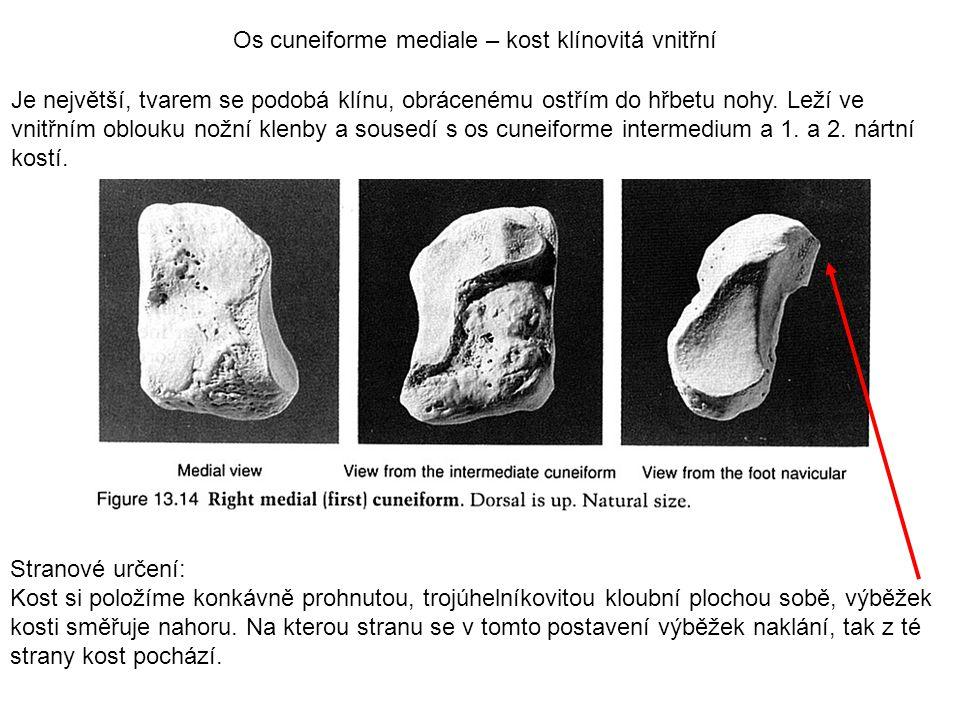 Os cuneiforme mediale – kost klínovitá vnitřní