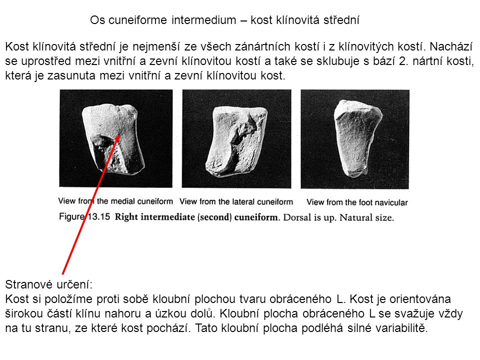 Os cuneiforme intermedium – kost klínovitá střední
