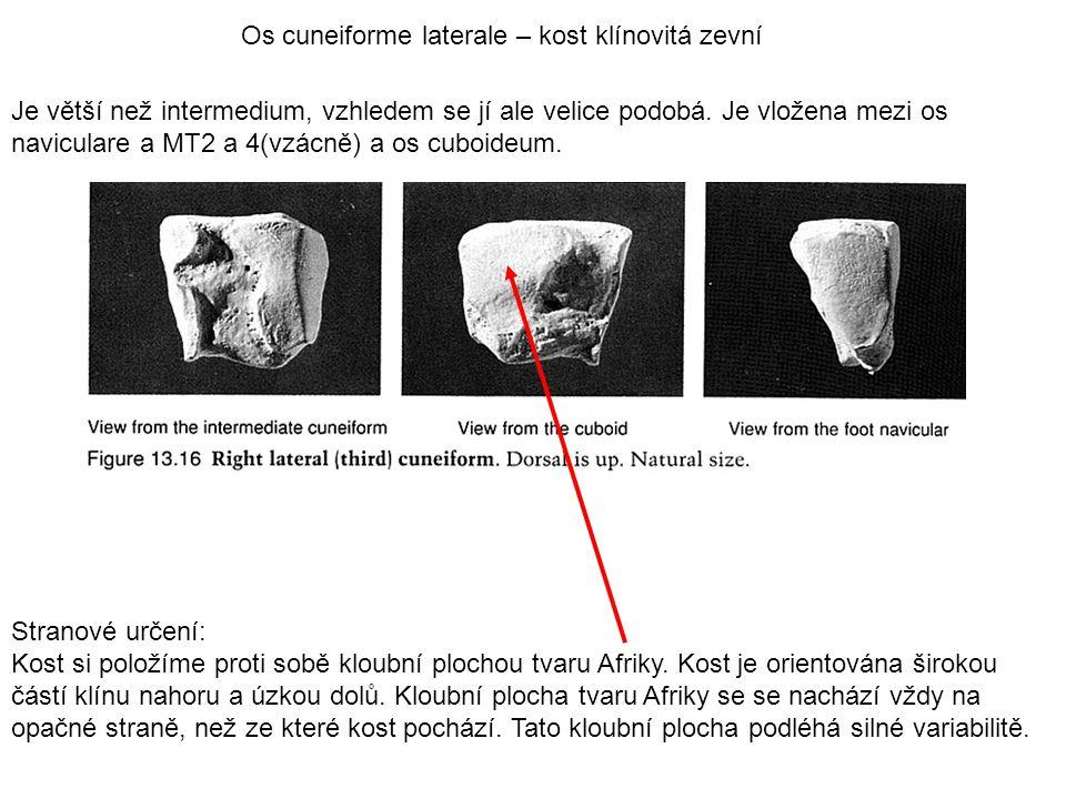 Os cuneiforme laterale – kost klínovitá zevní