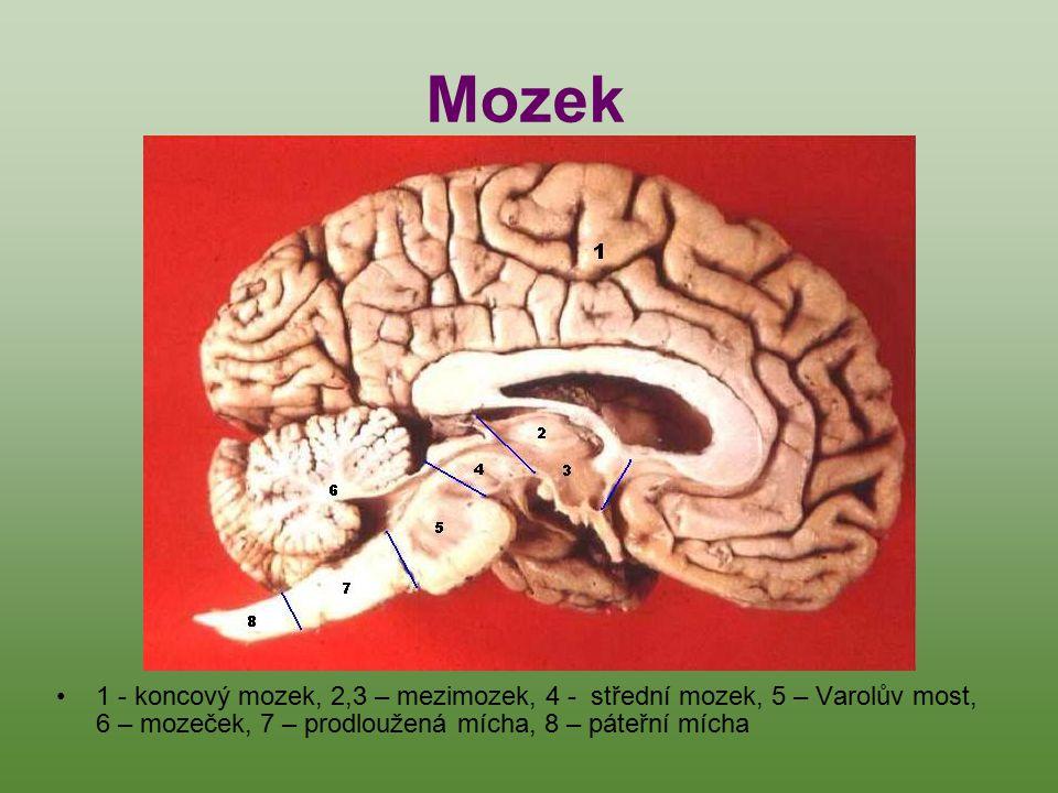Mozek 1 - koncový mozek, 2,3 – mezimozek, 4 - střední mozek, 5 – Varolův most, 6 – mozeček, 7 – prodloužená mícha, 8 – páteřní mícha.