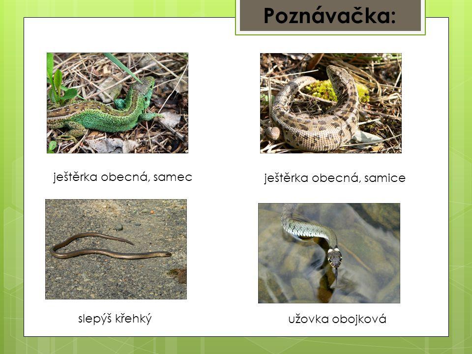 Poznávačka: ještěrka obecná, samec ještěrka obecná, samice