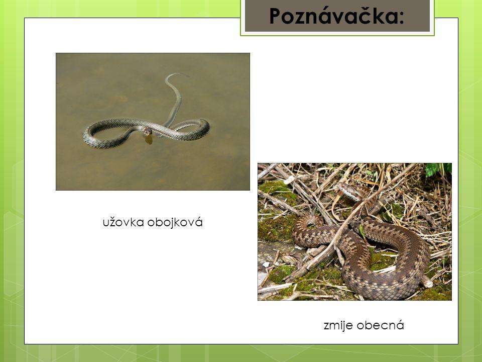 Poznávačka: užovka obojková zmije obecná