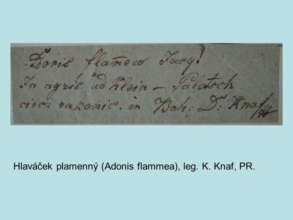 Hlaváček plamenný (Adonis flammea), leg. K. Knaf, PR.