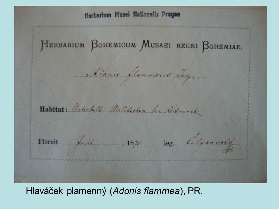 Hlaváček plamenný (Adonis flammea), PR.