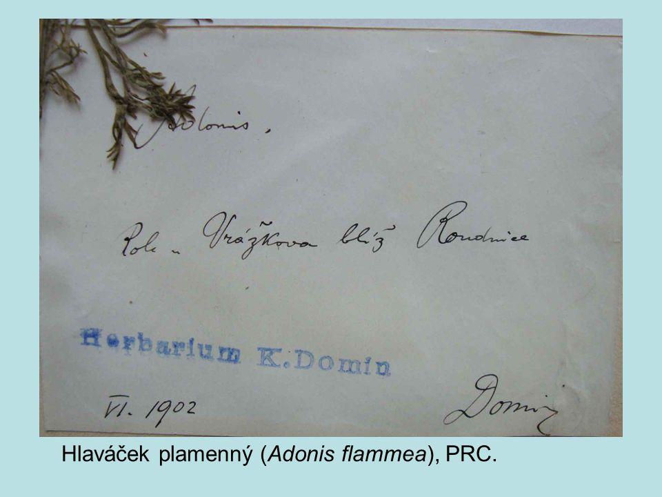 Hlaváček plamenný (Adonis flammea), PRC.