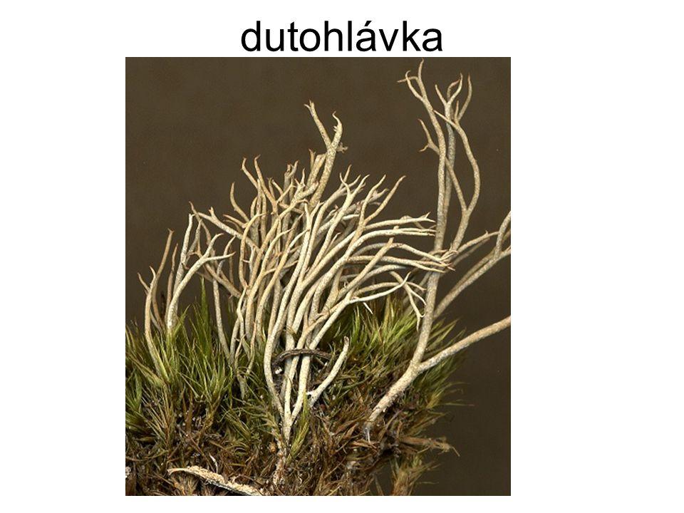 dutohlávka