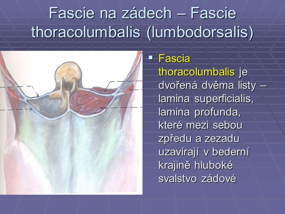 Fascie na zádech – Fascie thoracolumbalis (lumbodorsalis)
