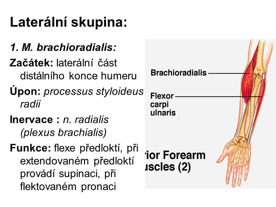 Laterální skupina: 1. M. brachioradialis:
