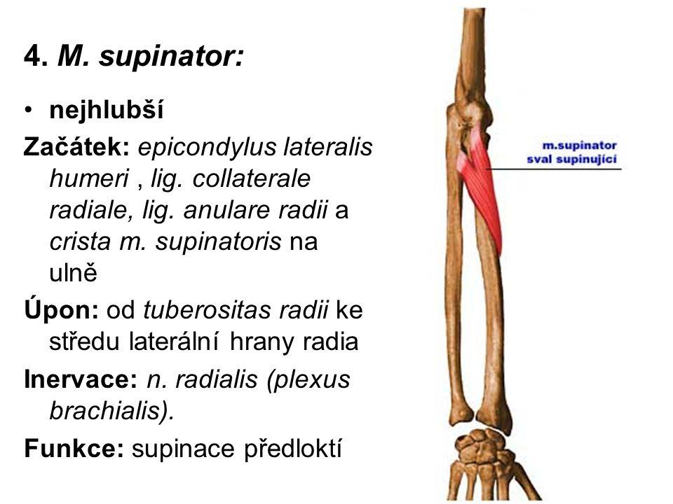 4. M. supinator: nejhlubší