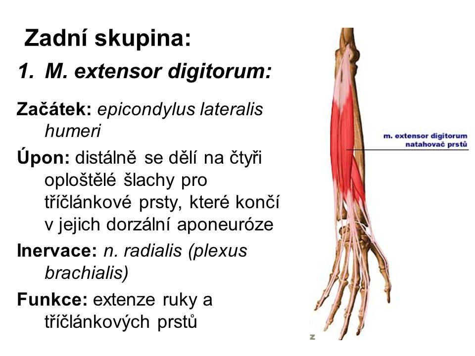 Zadní skupina: M. extensor digitorum: