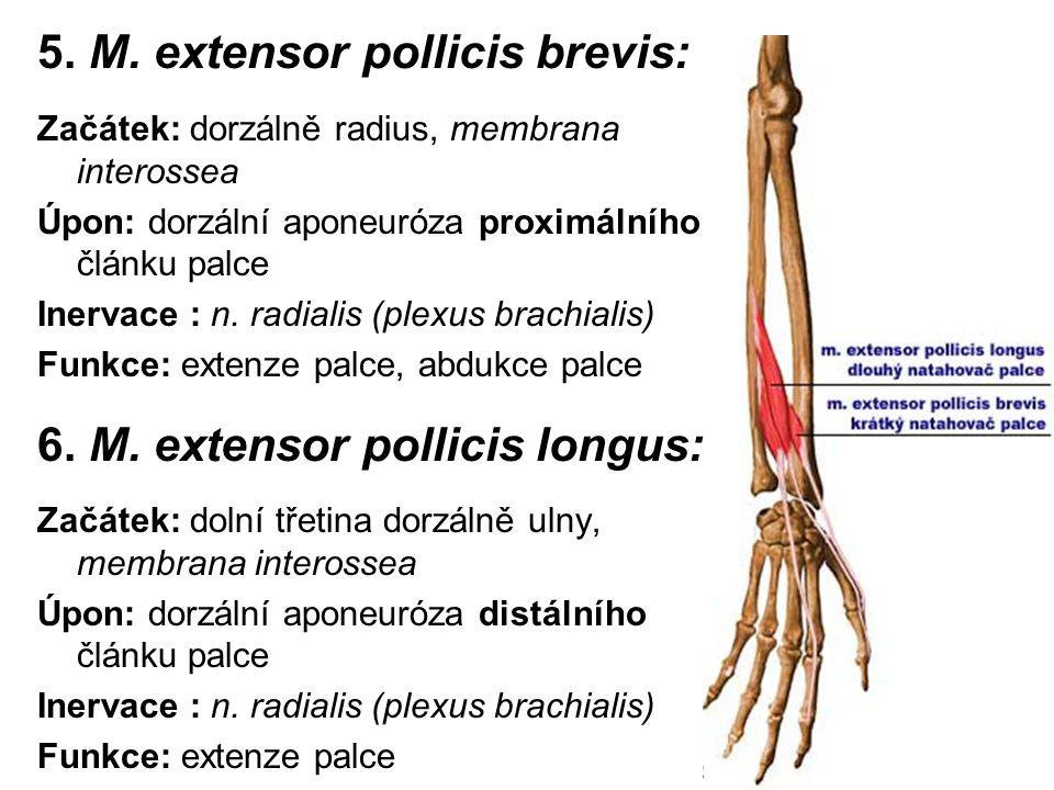 5. M. extensor pollicis brevis: