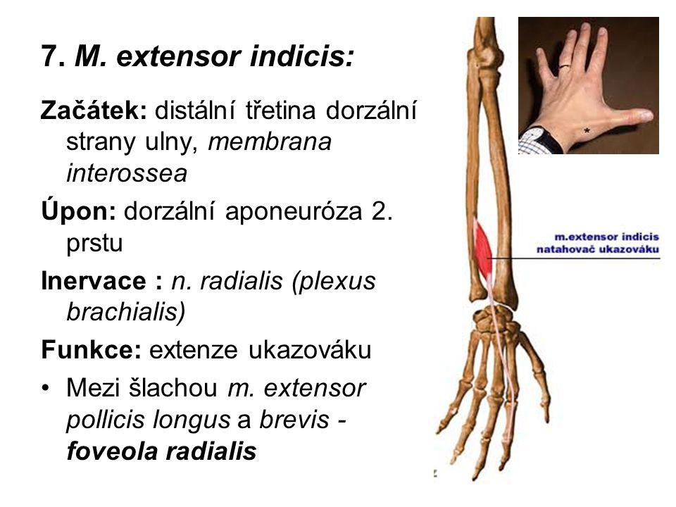 7. M. extensor indicis: Začátek: distální třetina dorzální strany ulny, membrana interossea. Úpon: dorzální aponeuróza 2. prstu.