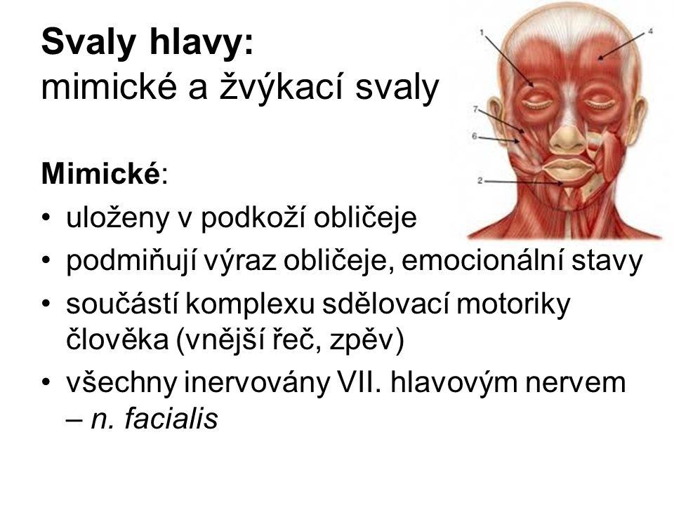 Svaly hlavy: mimické a žvýkací svaly