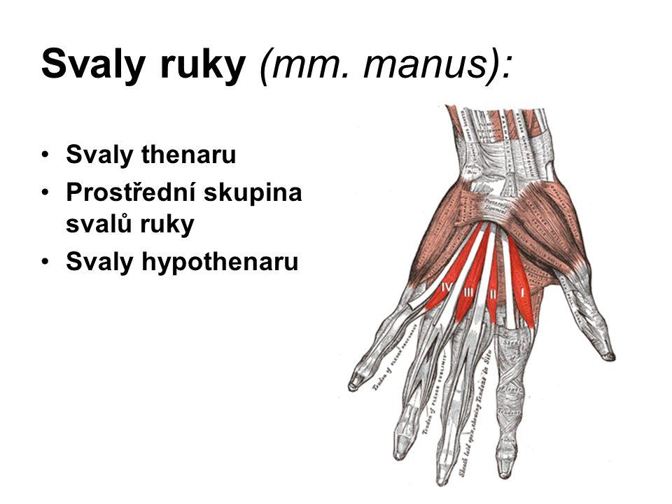 Svaly ruky (mm. manus): Svaly thenaru Prostřední skupina svalů ruky