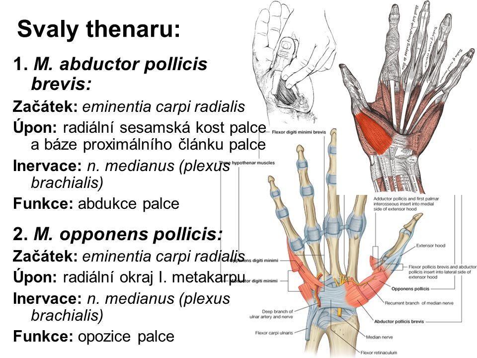 Svaly thenaru: 1. M. abductor pollicis brevis: