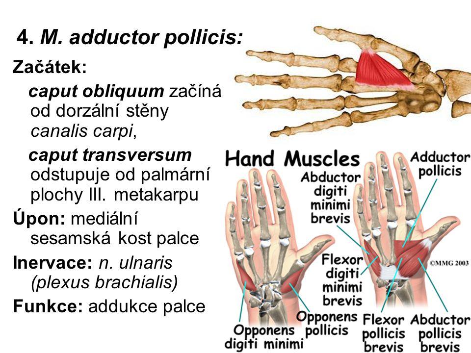 4. M. adductor pollicis: Začátek: