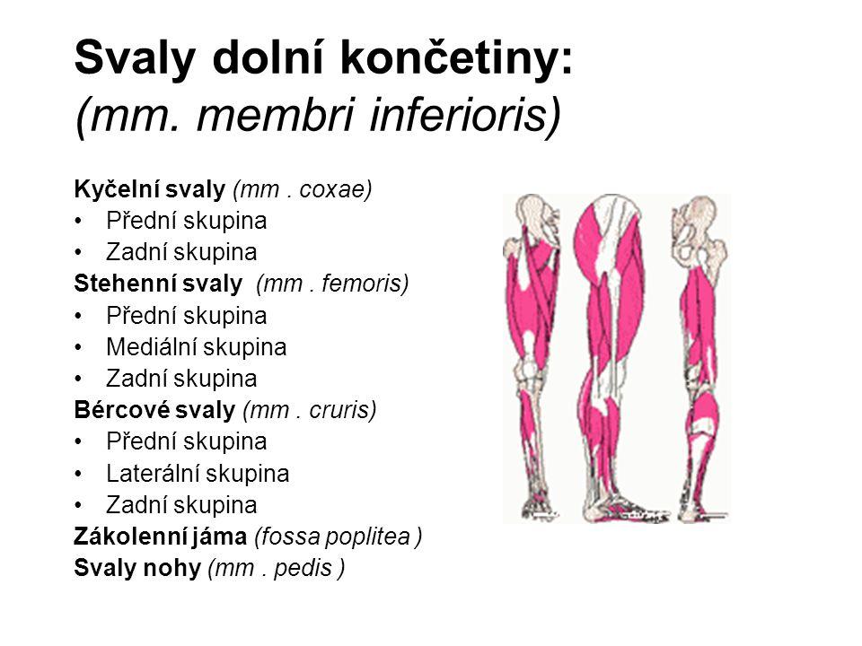 Svaly dolní končetiny: (mm. membri inferioris)