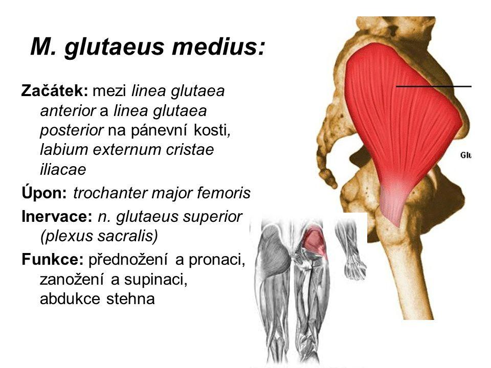 M. glutaeus medius: Začátek: mezi linea glutaea anterior a linea glutaea posterior na pánevní kosti, labium externum cristae iliacae.