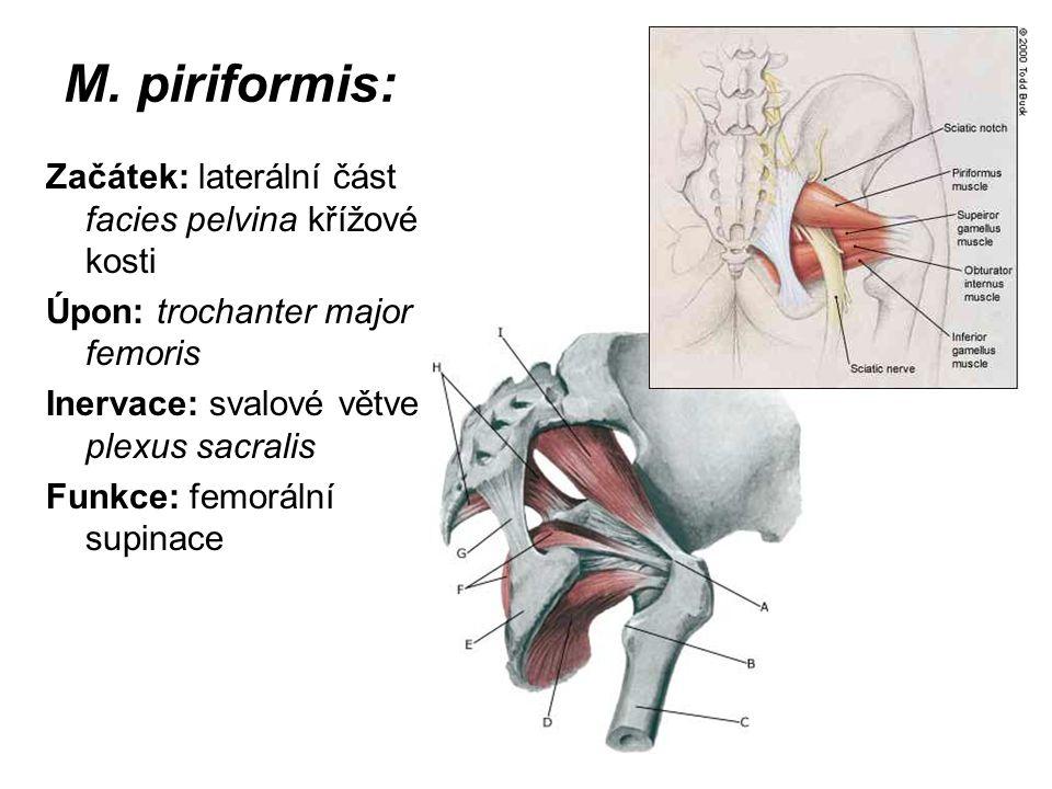 M. piriformis: Začátek: laterální část facies pelvina křížové kosti