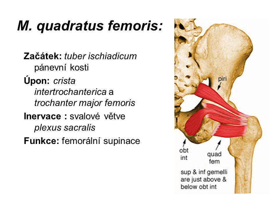 M. quadratus femoris: Začátek: tuber ischiadicum pánevní kosti