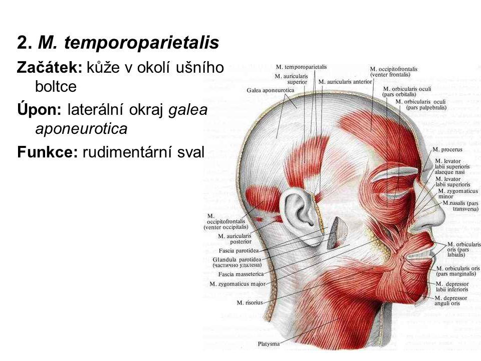 2. M. temporoparietalis Začátek: kůže v okolí ušního boltce