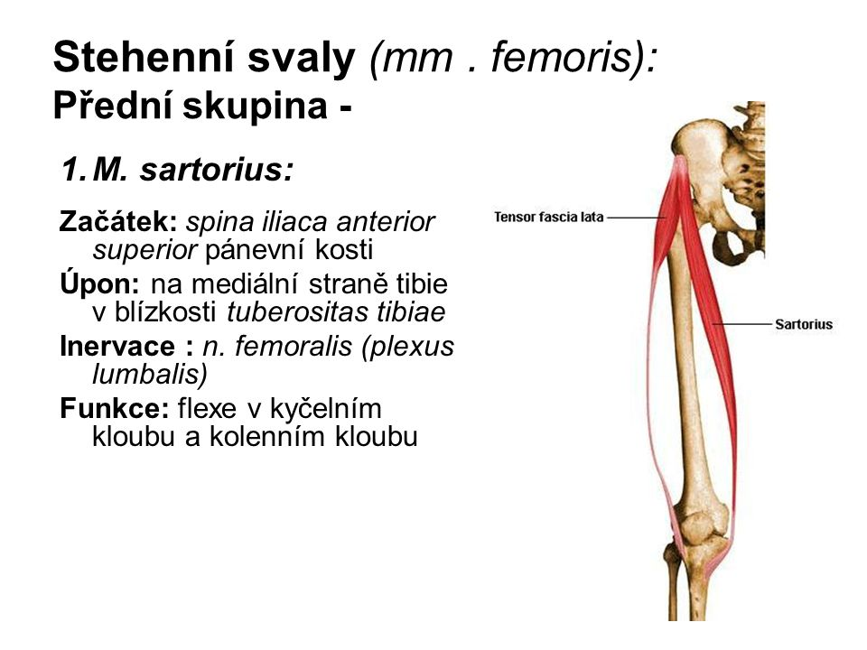 Stehenní svaly (mm . femoris): Přední skupina -
