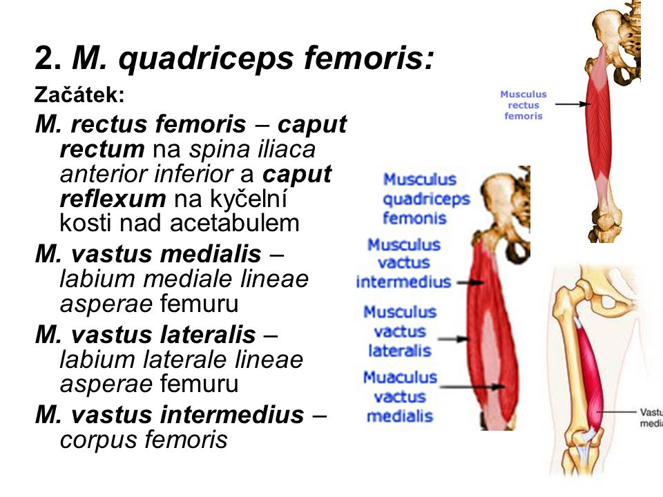 2. M. quadriceps femoris: Začátek: